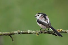 Long tailed tit Royalty Free Stock Images