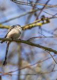 Long Tailed Tit Stock Photos