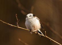 A Long-tailed tit at sunset Stock Images
