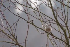 Long-Tailed Tit in tree. Looking royalty free stock image