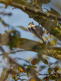 Long-tailed Tit upside down Stock Images