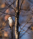 Long-tailed tits. In addition to the back, tail, wing tips whole body is white feathers, look very cute, at the same time it is specially useful bird eat Royalty Free Stock Images