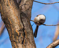 Long-tailed tits. In addition to the back, tail, wing tips whole body is white feathers, look very cute, at the same time it is specially useful bird eat Stock Photography