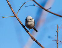 Long-tailed tits. In addition to the back, tail, wing tips whole body is white feathers, look very cute, at the same time it is specially useful bird eat Stock Images