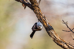 Long-tailed tits. In addition to the back, tail, wing tips whole body is white feathers, look very cute, at the same time it is specially useful bird eat Royalty Free Stock Image
