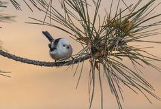 Long-tailed tits. In addition to the back, tail, wing tips whole body is white feathers, look very cute, at the same time it is specially useful bird eat Royalty Free Stock Photography
