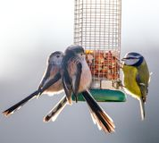 Long Tailed Tits and Blue Tit perched on feeder. Three Long Tailed Tits and a Blue Tit eating peanuts from a bird feeder Stock Images