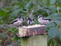Long Tailed Tits Royalty Free Stock Photo