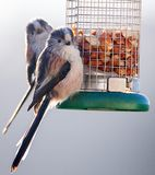 Long Tailed Tits perched on feeder. Two long tailed tits eating peanuts from a bird feeder Royalty Free Stock Photos