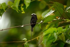 Long-tailed tyrant, Colonia colonus, tropical flycatcher with dark green forest in the background, detail portrait, Costa Rica. Wildlife scene from nature royalty free stock photo