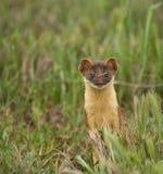 Long-tailed Weasel #1 Stockbild