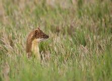 Long-tailed Weasel #2 Stockbilder
