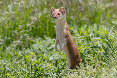 Long Tailed Weasel in afternoon light. A Long Tailed Weasel standing up in the spring grass in afternoon light stock image
