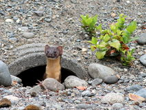 Long-tailed Weasel in a Drainpipe Royalty Free Stock Image