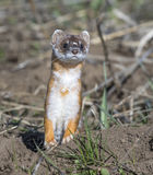 Long-tailed weasel on grass in early spring royalty free stock photography