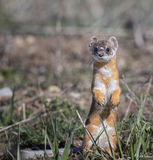 Long-tailed weasel on grass in early spring stock photo