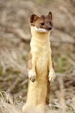 Long Tailed Weasel. Stock Photos