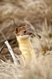 Long Tailed Weasel. Stock Photography