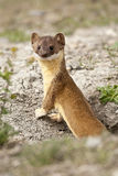Long Tailed Weasel. Royalty Free Stock Photos
