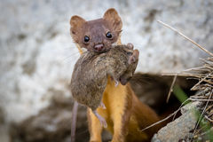Long Tailed Weasel with Mouse Stock Images