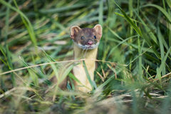 Long-tailed Weasel (Mustela frenata) Royalty Free Stock Images