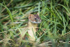 Long-tailed Weasel (Mustela frenata) Stock Images