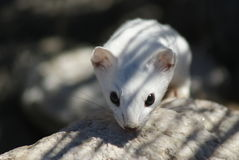 Long-tailed weasel in winter coat Stock Photography