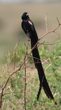 Long-tailed Widowbird on branch Royalty Free Stock Photography
