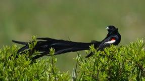 Long-tailed Widowbird, das Heck vorführt Lizenzfreie Stockfotos