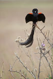 Long-tailed Widowbird Stock Image