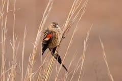 Long-tailed widowbird Stock Photography