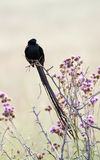Long-tailed Widowbird on pom pom Stock Image