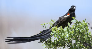 Long-tailed Widowbird sitting on a brush to rest after display f Stock Image