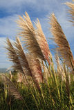 Long tall fluffy grass Royalty Free Stock Images