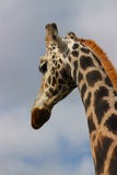 Long tall giraffe Stock Images