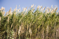 Long Tall Grass. Tall grass waving in the wind, in a sunlit sky Royalty Free Stock Images
