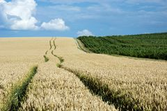 Long technological path to the field. Long technological path on a wheat field, green corn field, horizon and white clouds in the blue sky stock images