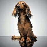 Long teckel gentil de cheveux se reposant à un arrière-plan gris photographie stock libre de droits