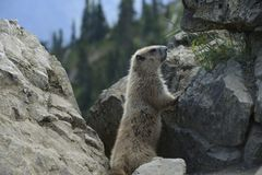 Marmot on the summit of Hurricane Hill , Olympic National Park, Washington stock image