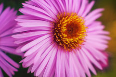 Long-term aster Alma Potschke flower Stock Images