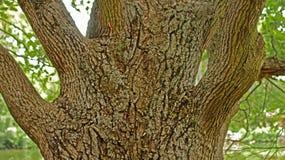 Long-term oak barrel. Years of moss on the bark of oak royalty free stock photos