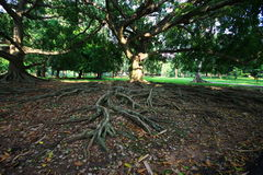 Long-term trees with enormous roots Stock Images