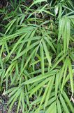 Long, thin leaves of green bamboo. Stock Images