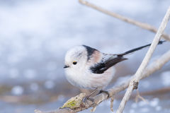Long Tiled Tit Stock Photos