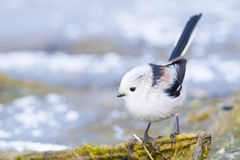 Long Tiled Tit Royalty Free Stock Photography