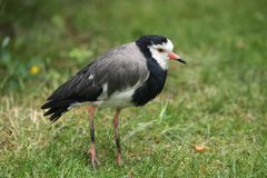 Long-toed lapwing Royalty Free Stock Photo
