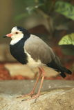 Long-toed lapwing Royalty Free Stock Photos