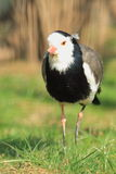 Long-toed lapwing Royalty Free Stock Photography