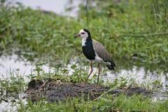 Long-toed lapwing, Vanellus crassirostris, Stock Photos