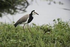 Long-toed lapwing, Vanellus crassirostris, Stock Images